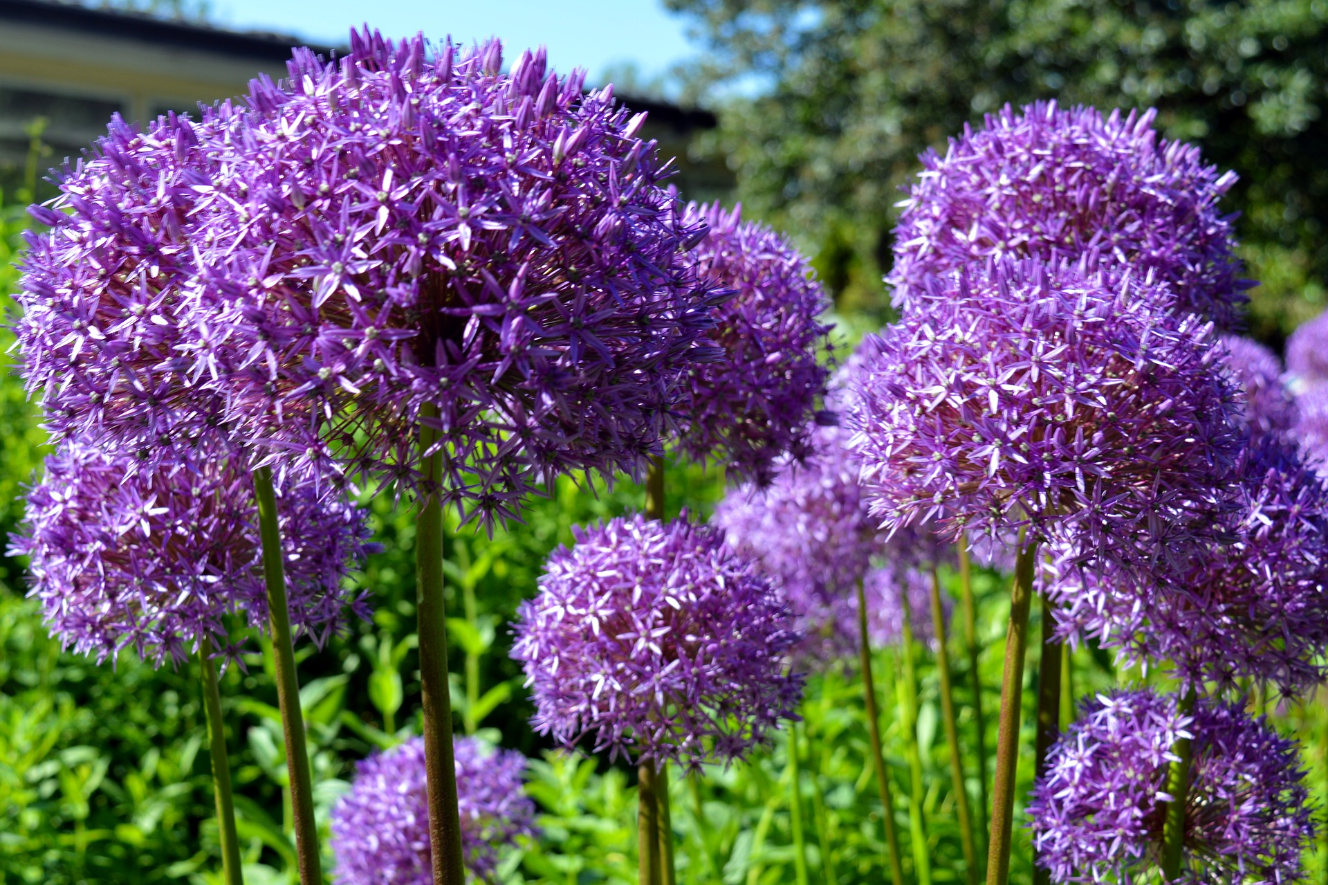 Allium von Mai - Sept.